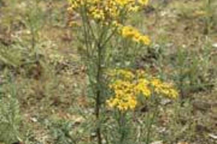 New Code of Practice increases need to control Ragwort