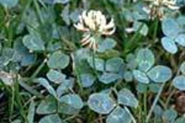 Weed of the Week: White Clover (Trifolium repens)