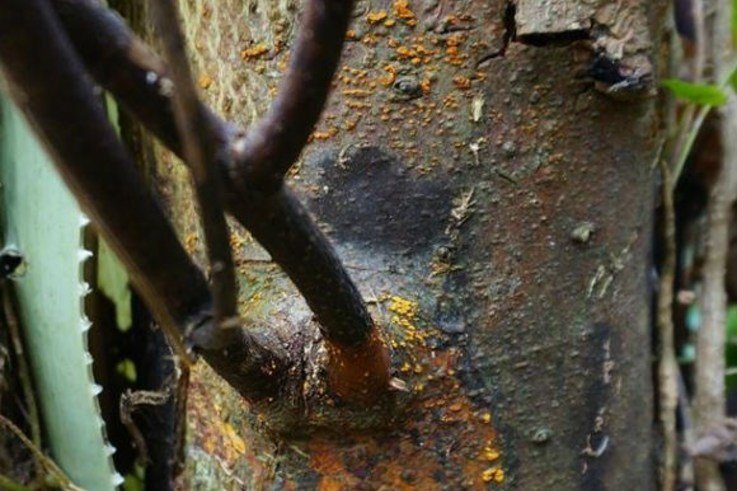 sweet chestnut blight