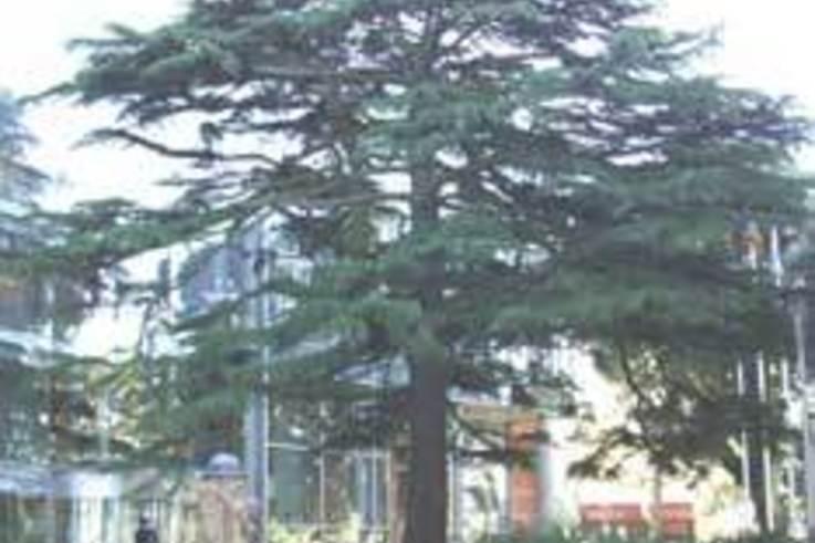 Deep Aeration saves mature trees