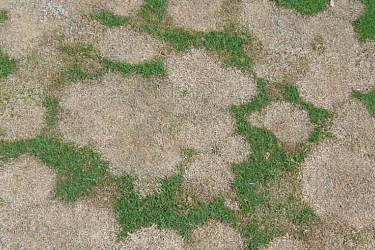 microdochium-patch.jpg