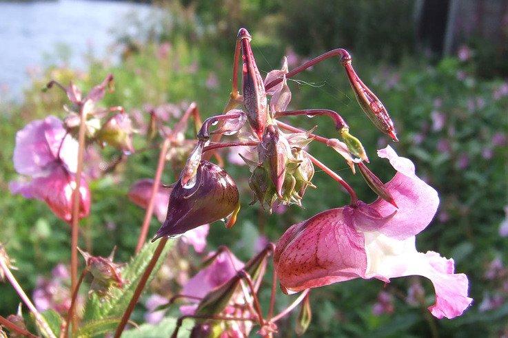 HimalayanBalsam Flower