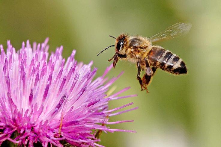 Honeybee landing on milkthistle02