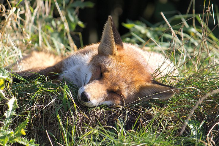 EuropeanFox Sleeping