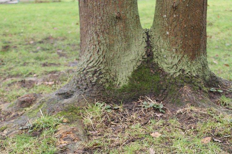 Certhia surface root damage cropped