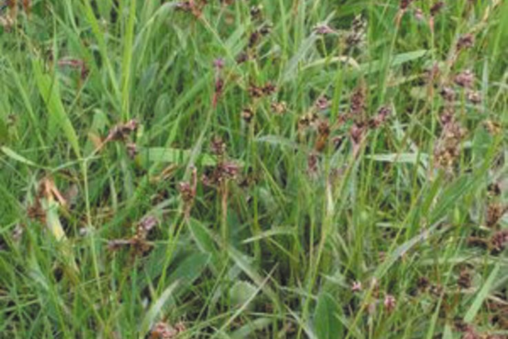 Field Wood Rush (Luzula campestris)