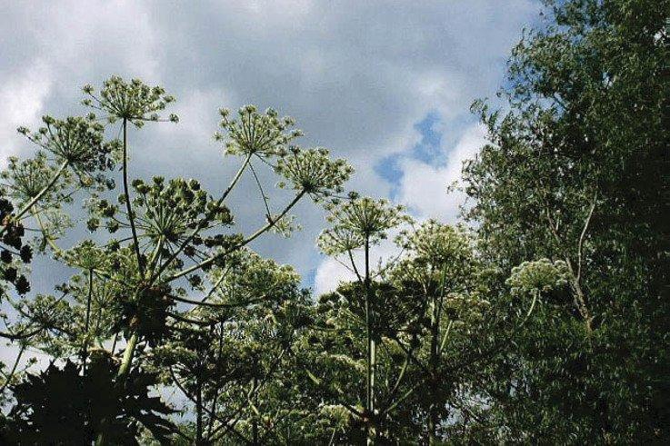 GiantHogweed