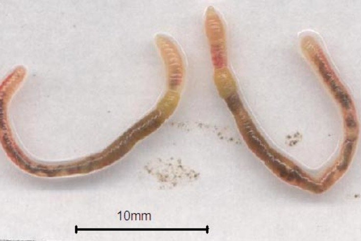 Microscolex mature worms