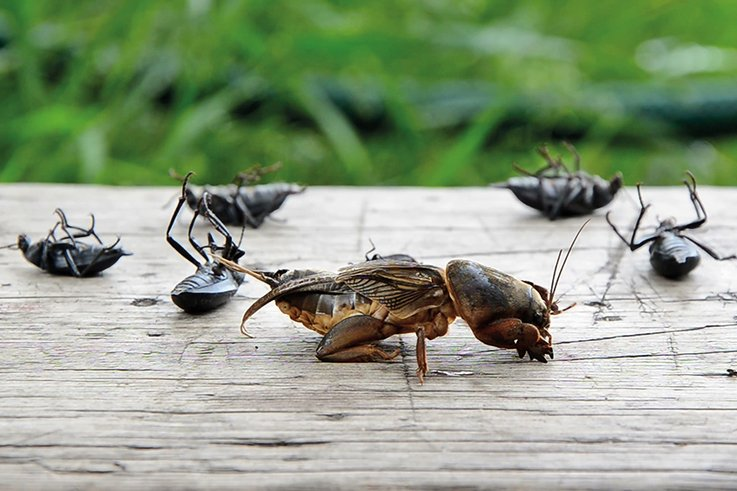 Dead-insects-in-the-foreground-mole-cricket-in-mortal-agony