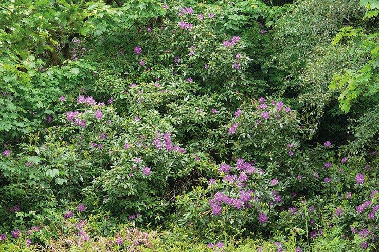 invasive rhododenron ponticum