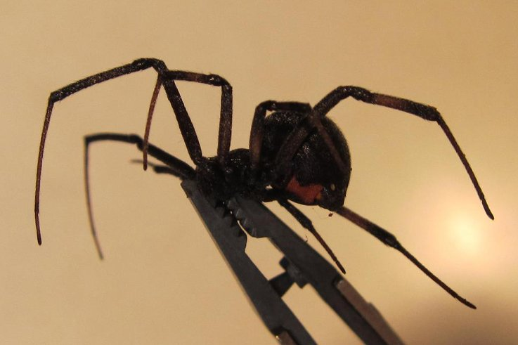 Black Widow spider, Female