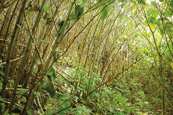 JK knotweed jungle