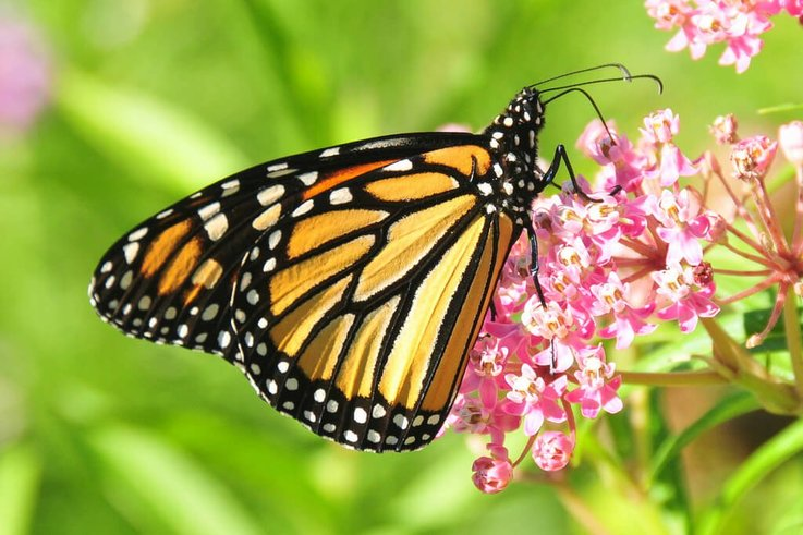 Monarch Milkweed 0
