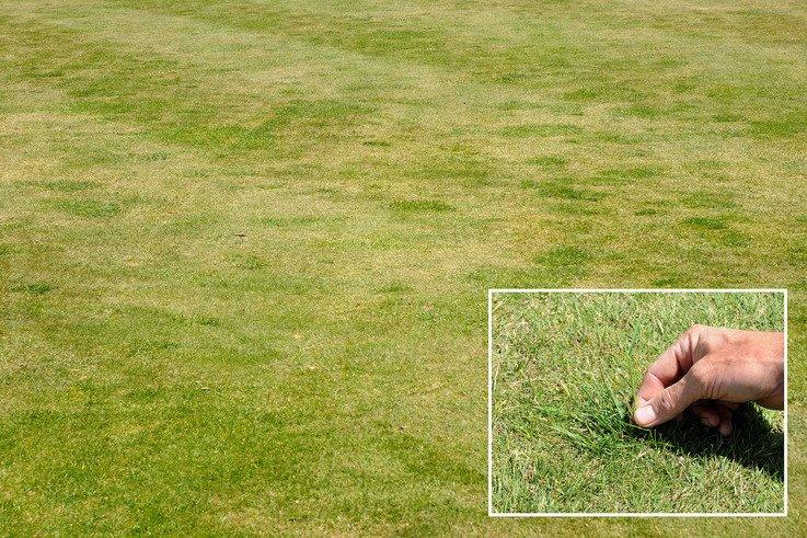 Rye infestation on fairways mr.jpg