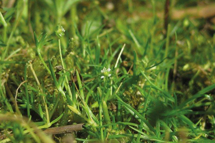 Pearlwort sagina procumbens 2