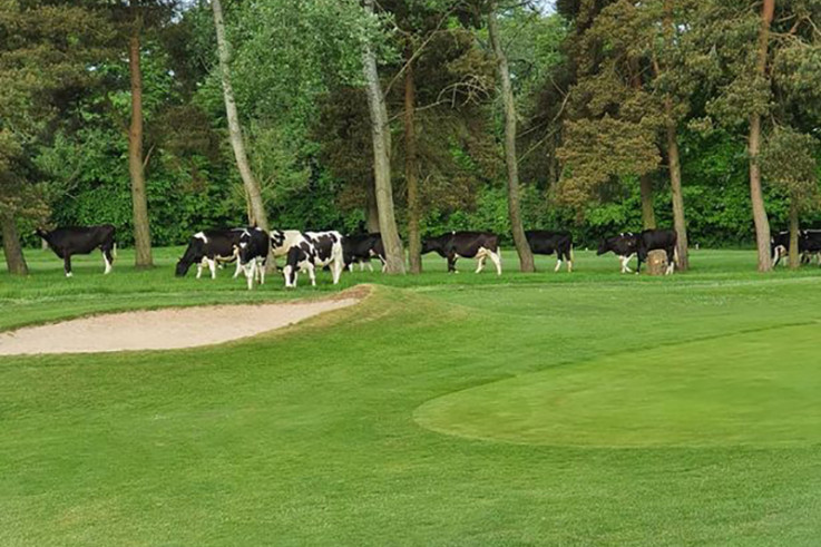 cows on golf course.jpg