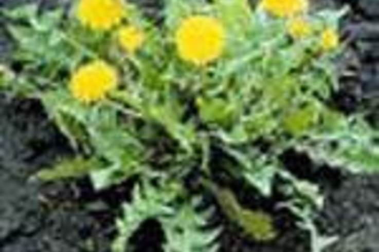 Weed of the Week: Dandelion (Taraxacum officinale)