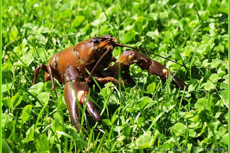 SignalCrayfish