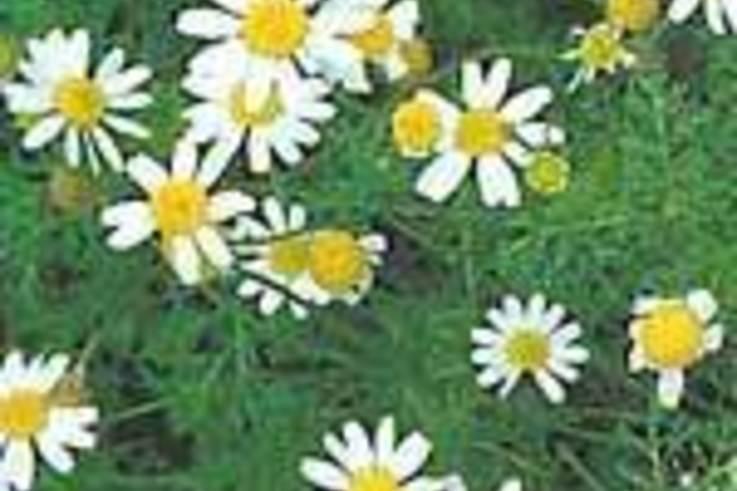 Weed of the Week: MayweedAnthemis cotula