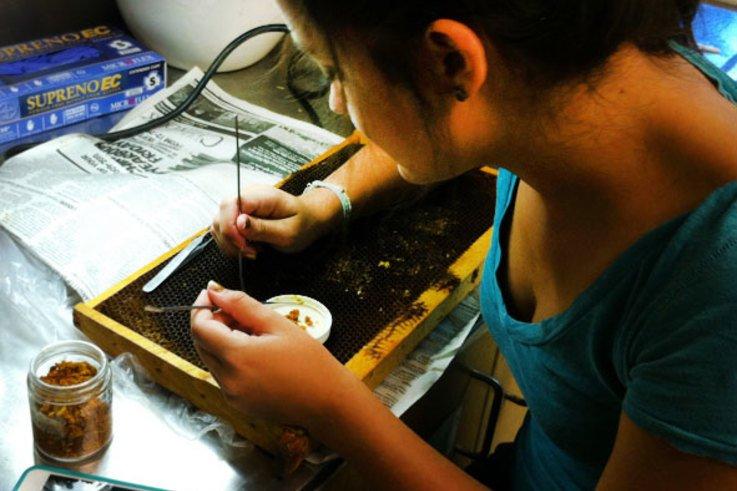 WSU student separating beebread from wax comb web