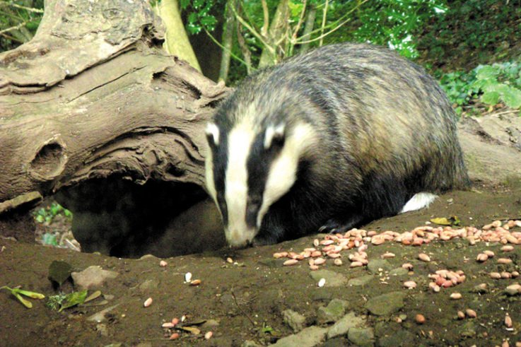 Badgers and the Law