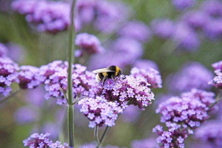 RS10100 cuckoo bumble bee1