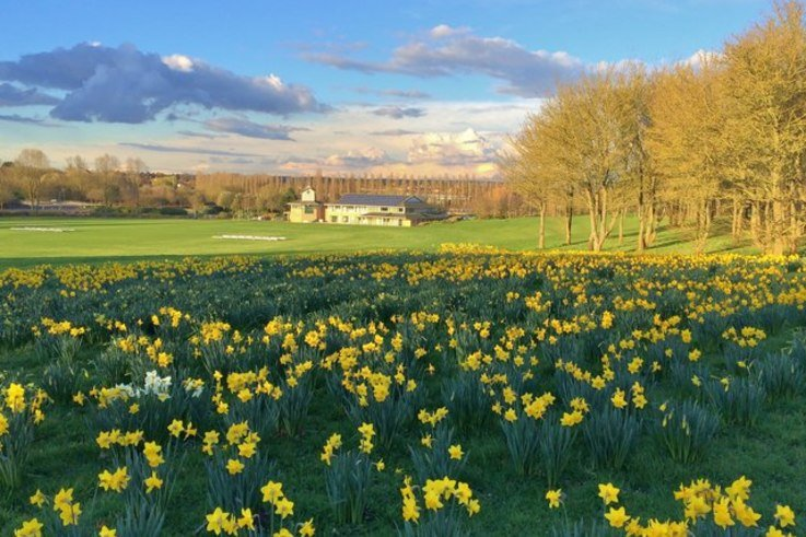 Daffodils On Cricket Pitch Boundary