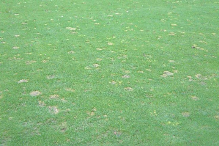 Autumn Fusarium damage.jpg