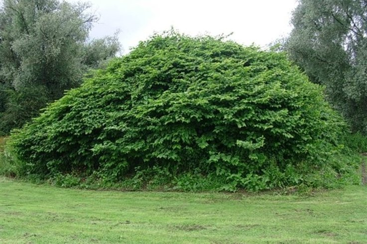 Japanese Knotweed on amenity land in Herefordshire in July.JPG