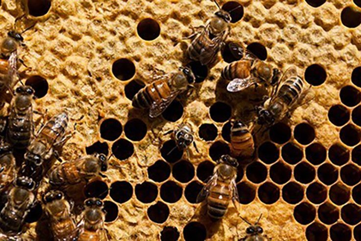 honeybee-european.jpg
