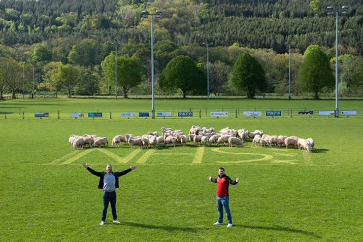 Brecon RFC_sheep.jpg