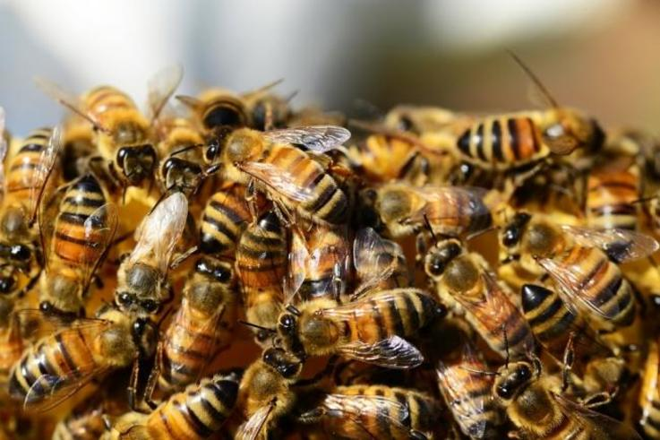bees himalayan balsam