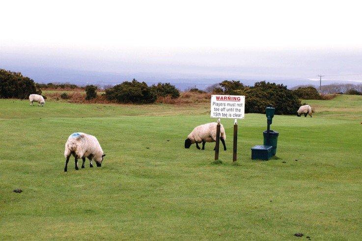Southerndown2 Sheep