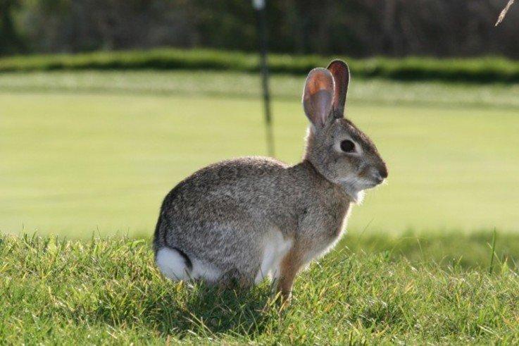 rabbit on golf