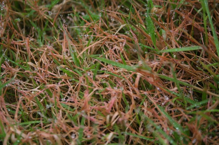 Red thread spores  (3)
