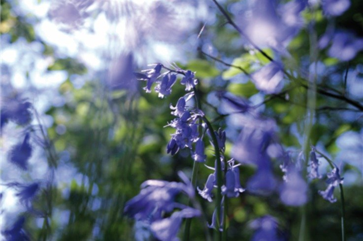 Flower.Bluebell 01