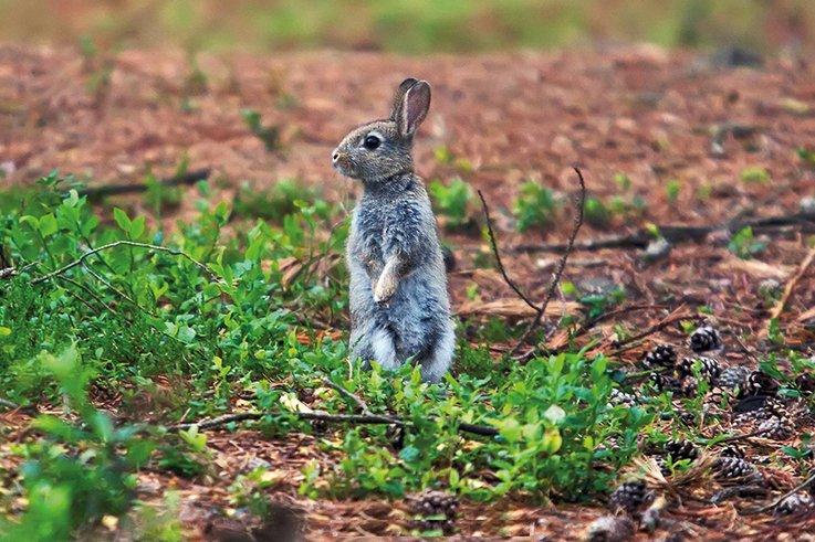 Rabbits wild grey