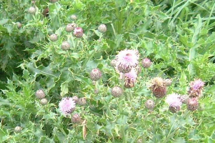 Creeping thistle in flower 2