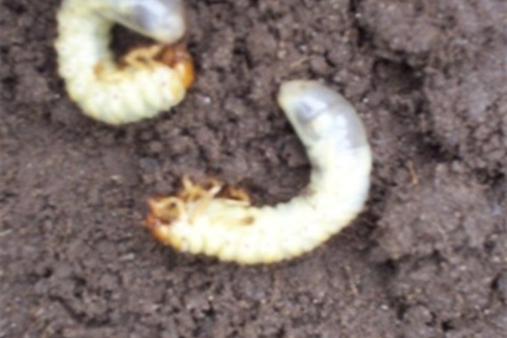 Pests The Chafer Grub Pitchcare