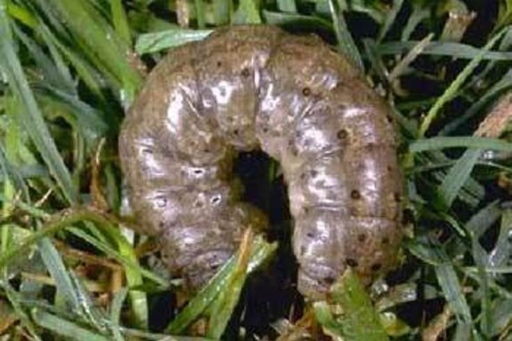 New Tool for Biological Warfare on Cutworms?