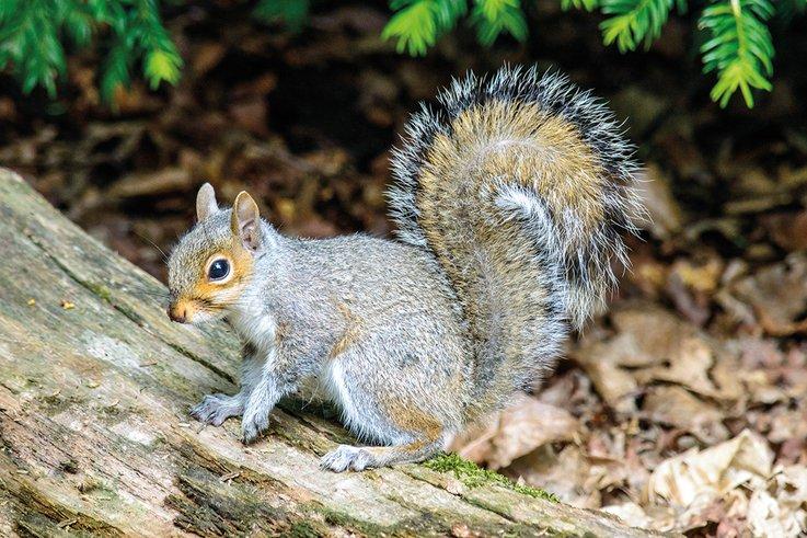 GreySquirrel3 RGBStock
