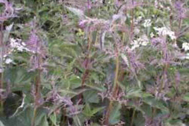 Weed of the Week: Common Nettle (stinging) Urtica dioica L.