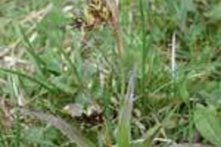 Weed of the Week - Field Woodrush