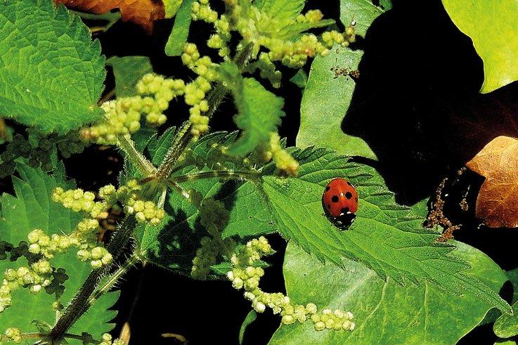 Nettles Ladybird