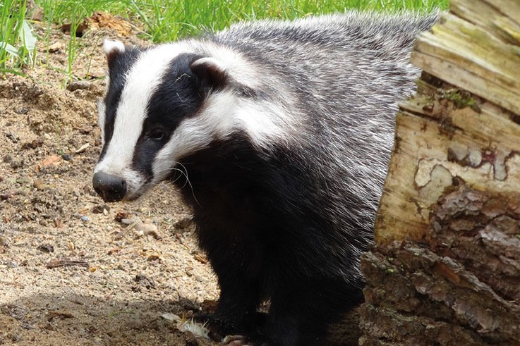 Badger5 Pixabay