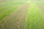 Ryegrass Trial Plot