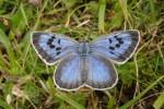 1.large blue   somerset martin warren   small