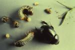 Black Beetle Larvae