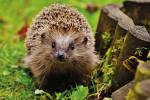 Hedgehog Main
