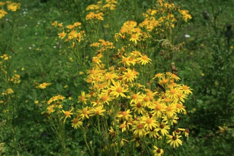 Stinking nanny common ragwort pitchcare ireland is sometimes known can be a major headache for amenity managers carpeting neglected corners and popping up on open spaces with its yellow flowers in mightylinksfo